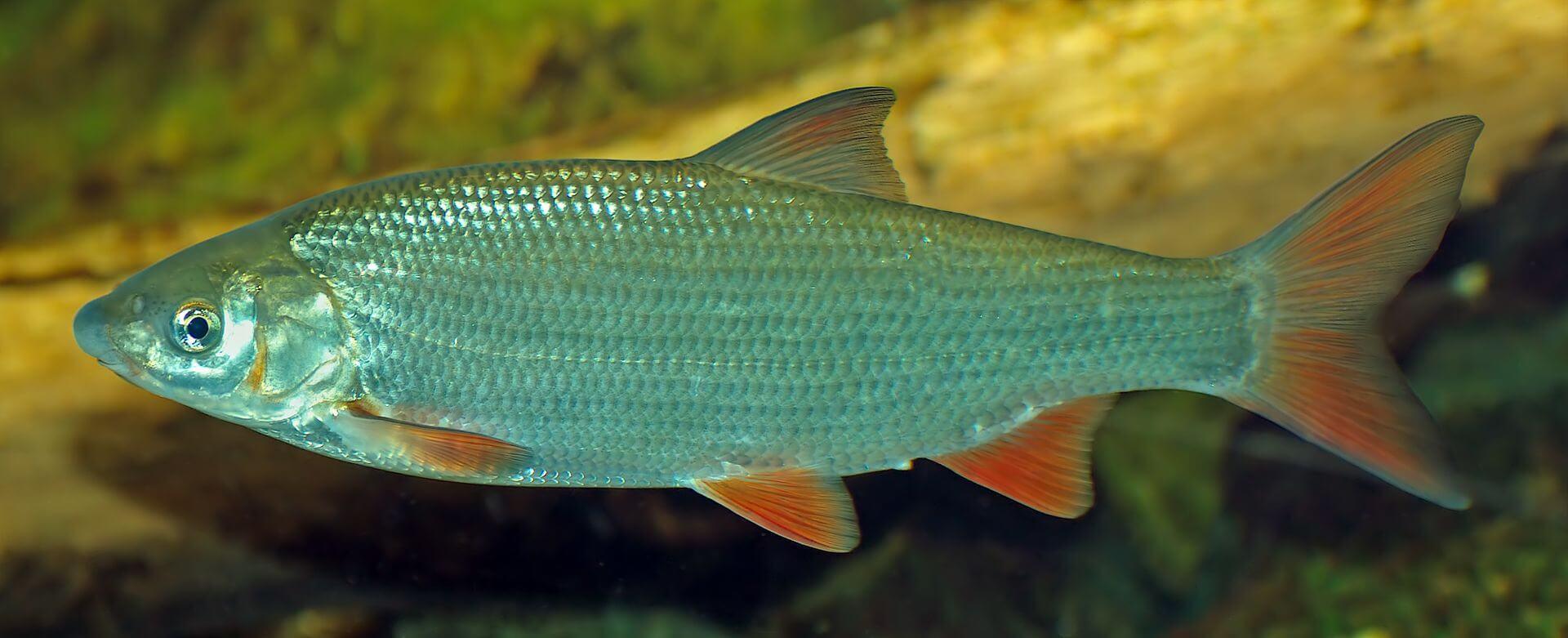 Bedrohter Fisch Nase braucht Rheinaufweitungen